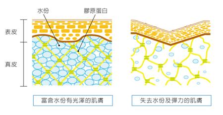 皮膚分層結構圖